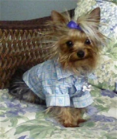 one year yorkie terrier breed pictures yorkie page 1