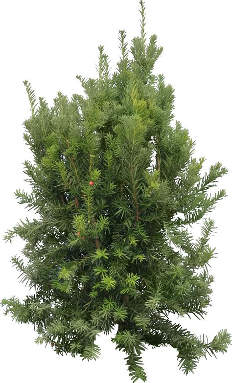 fir tree png images free picture - Tree Image
