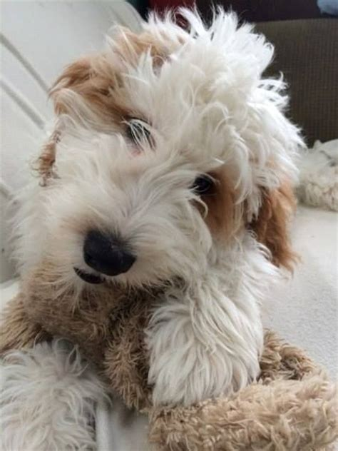 mini goldendoodles midwest 25 best goldendoodle breeders ideas on mini