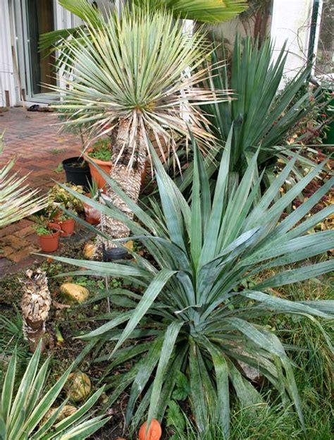 Winterharte Palmen Pflege 5797 by Winterharte Yuccas Und Palmen