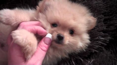 jiggy pomeranian teddy pomeranian giggy jiggy named boo creme puff is avaialble www