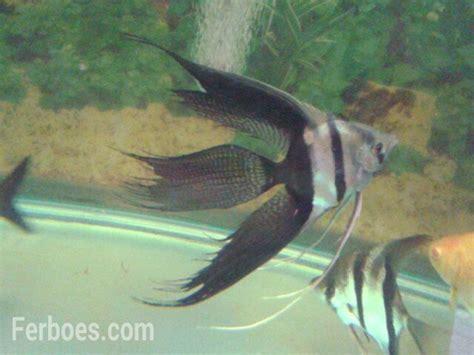 Pakan Ikan Hias Manfish jenis ikan manfish ferboes