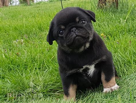otis pug otis pug puppy for sale puppy