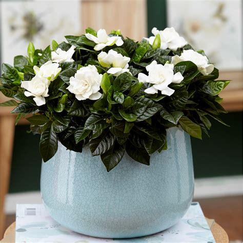gardenia delivery buy gardenia gardenia jasminoides delivery by waitrose