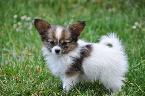 papillon puppies road s end papillons available papillon puppies