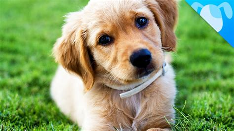 golden retriever facts and information golden retriever puppies information goldenacresdogs
