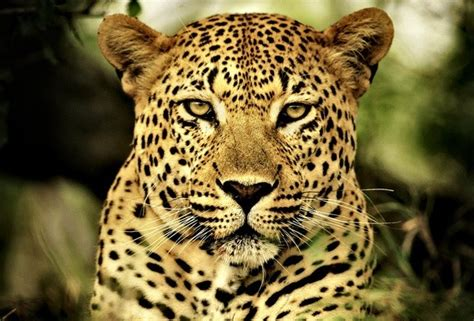what s the difference between a jaguar and what are the differences between a cheetah a leopard and