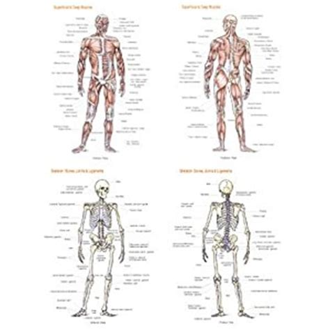 the staff of and bone books anatomy poster muscles and bones flash anatomy staff