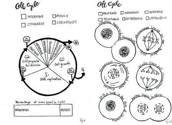 mitosis coloring sheet reading notes cell cycle and mitosis coloring sheet by scientifically