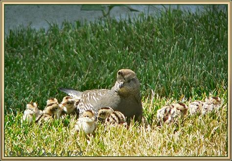 the california quail family