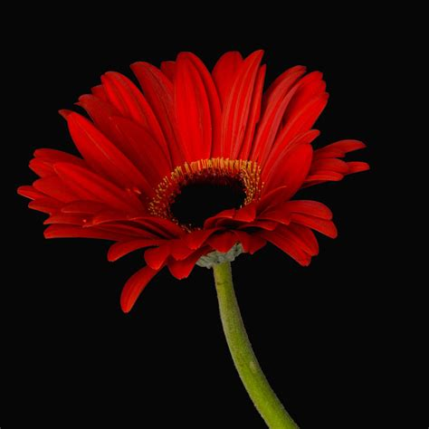 Gerber Daisies by Red Gerbera Daisy Photograph By Dawn Black