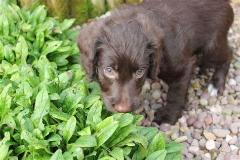 labradoodle puppies price reduced price miniature labradoodle puppies bury greater manchester pets4homes