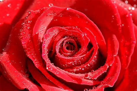 imagenes de rosas de 400 x 150 flowers photos high resolution roses orchids and