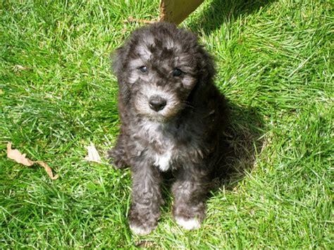 bedlington terrier puppies terrier puppies pictures