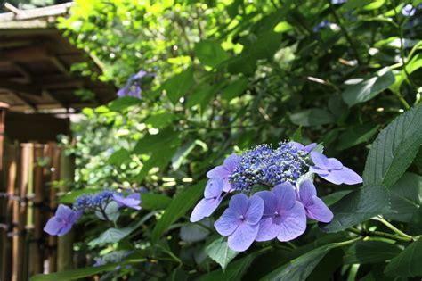 hortensie endless summer standort 2338 hortensie quot endless summer quot 187 welcher standort ist der beste