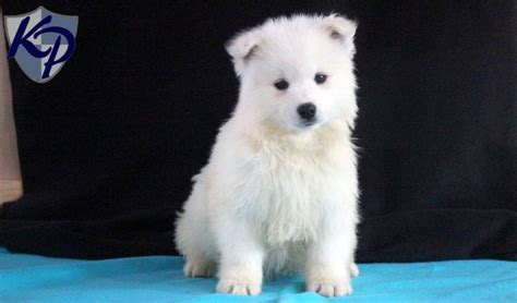 samoyed mix puppies for sale the 25 best samoyed puppies for sale ideas on samoyed puppies samoyed