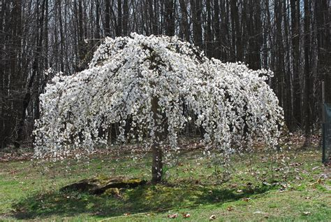 caring for a white weeping cherry tree feathers in the woods