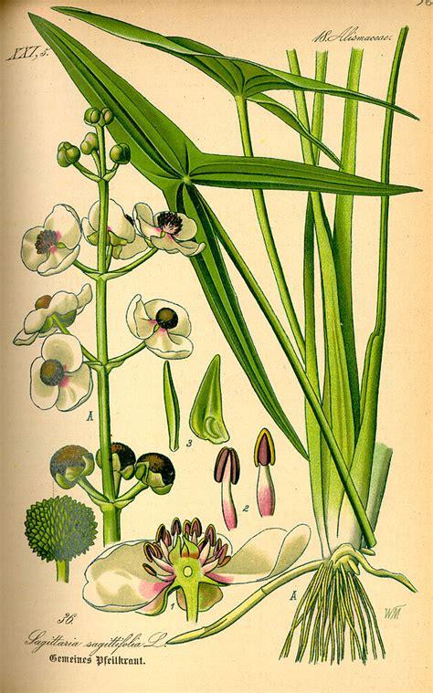 katniss arrowhead plant