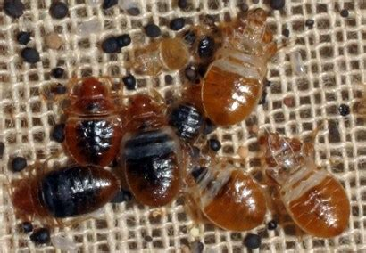 What Does Bed Bugs Cause