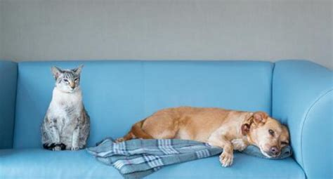 cat hair on couch cat lovers vs dog owners who does science say is more