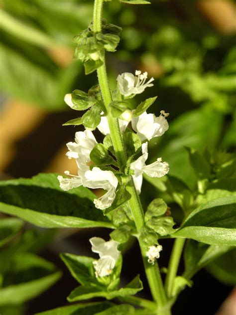 basil plant flowering what to do for blooms on basil