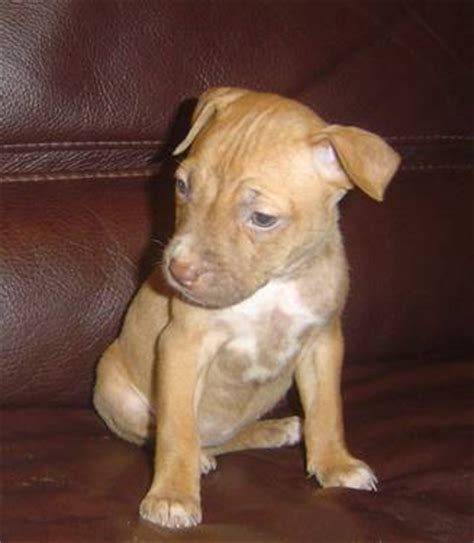 4 week pitbull puppy american rednose pitbull puppies 7 weeks must go 2day 1st new york usa