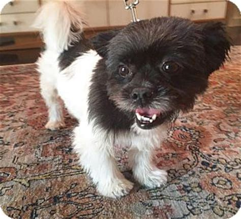 shih tzu brussels griffon mix cookie adopted los angeles ca brussels griffon