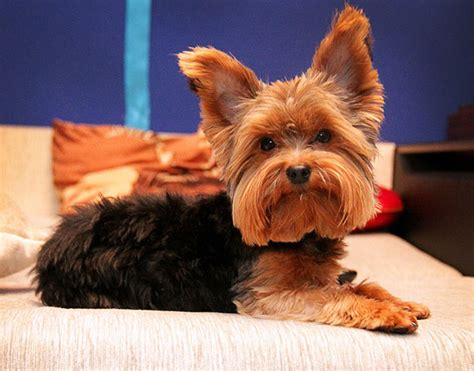 yorkie ear mites you need to take adequate steps to treat yorkie ear infection