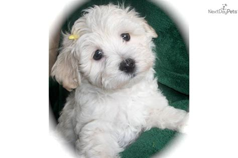 maltipoo puppies for sale bay area malti poo maltipoo puppy for sale near ta bay area florida 71f7d5a9 14a1