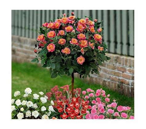 cottage farms roses cottage farms tree