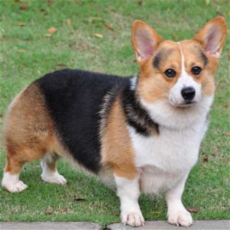 dogs 101 corgi pembroke corgis info facts temperament puppies pictures