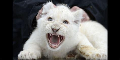 imagenes de leones albinos dayvb le 243 n blanco