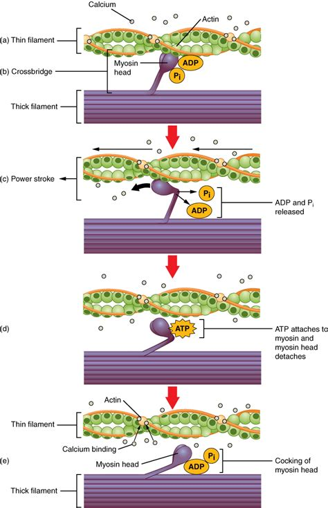 4 proteins involved in contraction fiber contraction and relaxation voer