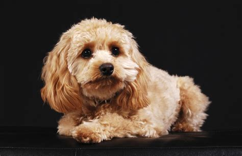 for the of dogs general care and grooming tips for cockapoo dogs you shouldn t miss