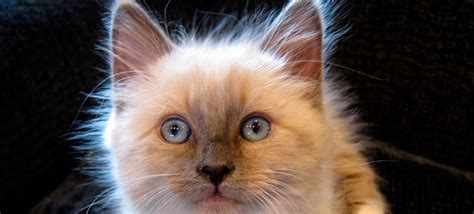 ragdoll que significa ragdoll uma ra 231 a de gatos de beleza sedutora