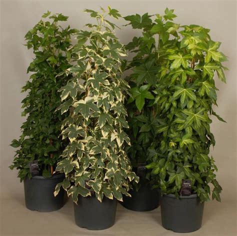 Garten Pflanzen Wenig Licht zimmerpflanzen f 252 r wenig licht 25 gr 252 ne und bl 252 hende arten