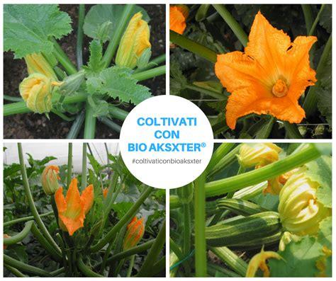 come si possono cucinare i fiori di zucca fiori di zucca sapete gi 224 come capire se 232 maschio o