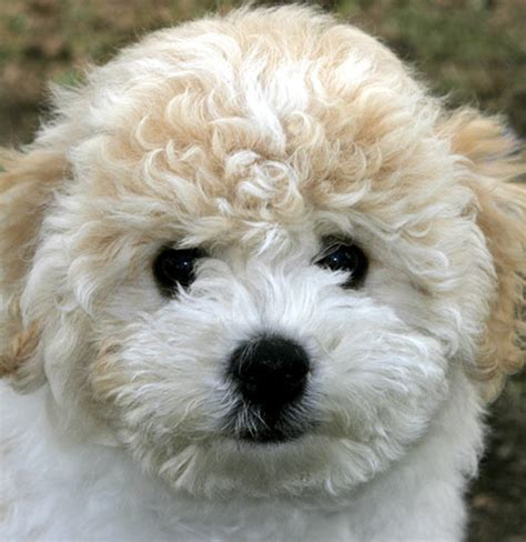 bichon puppies bichon puppies pictures puppies breed information image pictures