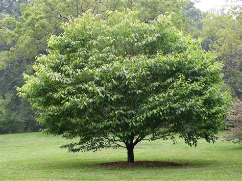 horn tree file hornbeam maple acer carpinifolium tree 3264px jpg