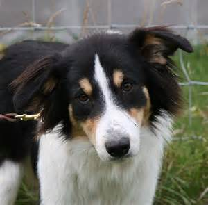 Miniature collie related keywords amp suggestions miniature collie