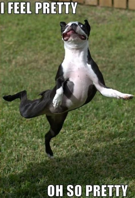 Dancing Dog Meme - 10 best boston terrier memes of all time