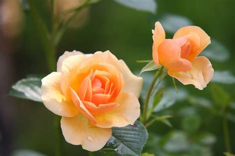 11 beautiful pictures of flowers project 4 gallery 무료 사진 장미 꽃 꽃 장미 공장 장미 꽃 pixabay의 무료 이미지 616013