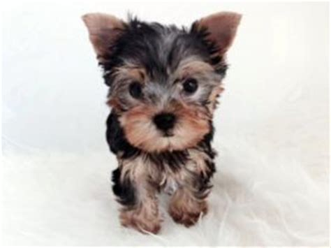 teacup shih tzu puppies for sale in california shih tzu puppies for sale tiny teacup shih tzu puppies available now in los angeles