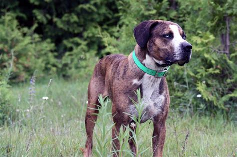 Catahoula Shedding by Catahoula Leopard Rescue Breeds Picture