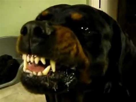are rottweilers dangerous diesel our dangerous rottweiler