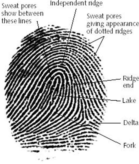 pattern definition for science fingerprints 2 galtons details crime scene