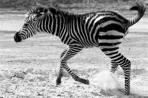 zoologischer garten oder tierpark berlin zoo vs tierpark revierk 228 mpfe in der hauptstadt