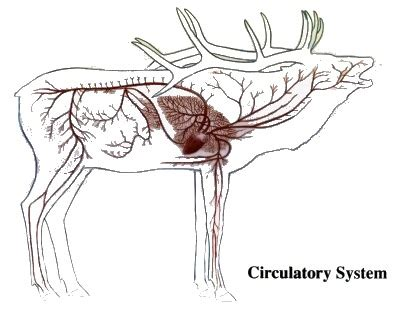 elk anatomy diagram pin whitetail deer anatomy on