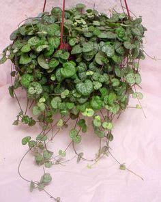 peperomia rotundifolia aka prostrata