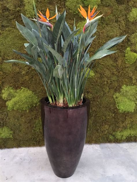 Own A Of Paradise by 27 Best Strelitzia Products Hemert Flowers Images On